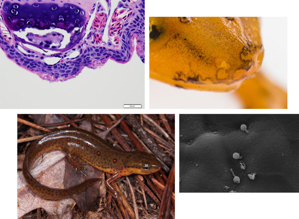 A collage of eastern newts and microscopic images of Bsal, a fungal pathogen.
