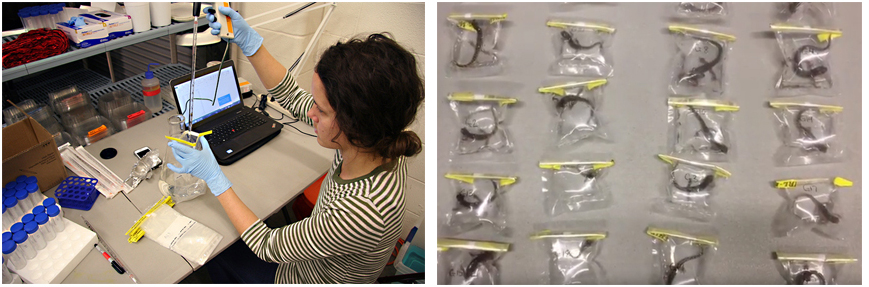 Newts are placed in plastic bags with water to test for the pathogen Bsal.