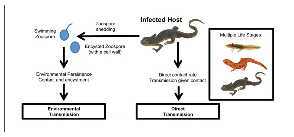 Conceptual model of transmission pathways of eastern newts.